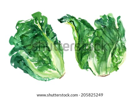 Watercolour lettuce hearts on a white background