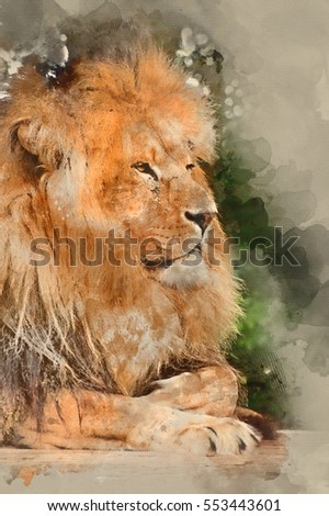 Watercolour painting of Portrait of African Lion Panthera Leo big cat in captivity