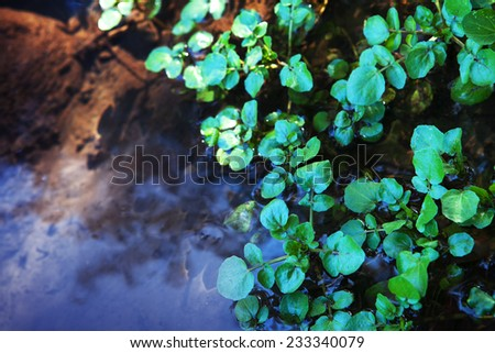 Watercress growing in shallow water.  - stock photo