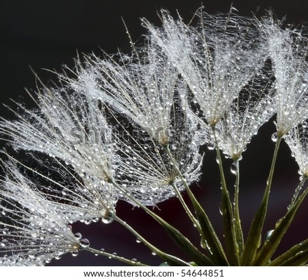 Waterdrops on Dandelions Seeds - stock photo
