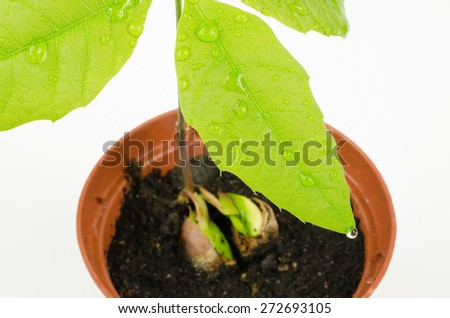 watered baby red oak - stock photo