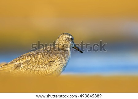 waterfowl colorful nature  Red Knot