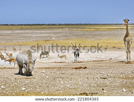 Waterhole scene in Etosha National Park with Giraffe, Rhino, Zebra, Oryx, Springbok - stock photo