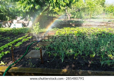 Watering a vegetable garden with a sprinkler placed amongst the neat rows of fresh green spring seedlings on a smallholding - stock photo