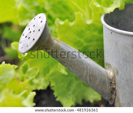 watering can with a water drop among lettuce in a garden