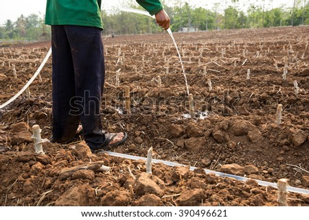 Watering planted cassava in summer drought