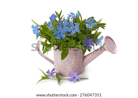 watering pot spring periwinkle isolated on white background - stock photo