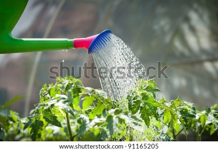 watering seedling tomato in Greenhouse - stock photo