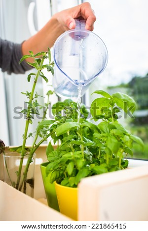 Watering the kitchen herbs - Young woman pouring fresh water into pots with fresh herbs on her appartment's kitchen window - stock photo
