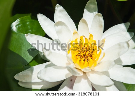 Waterlily in natural background