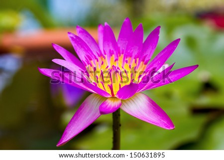 Waterlily Lotus Flower in a Pond - stock photo