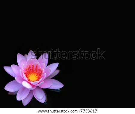 Waterlily on Black - stock photo