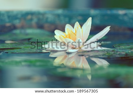 waterlily or lotus flower in a pond with rain drop pastel or vintage style - stock photo
