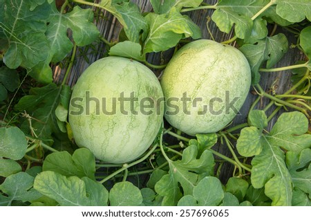 Watermelon crop - stock photo