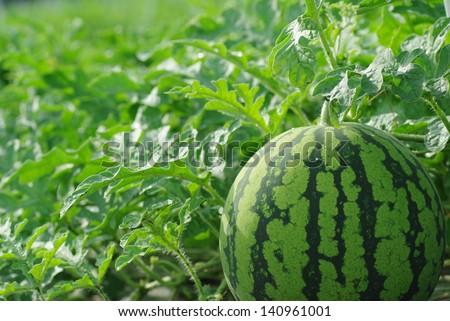 Watermelon farm - stock photo