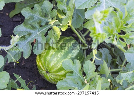 Watermelon growing on the plantation