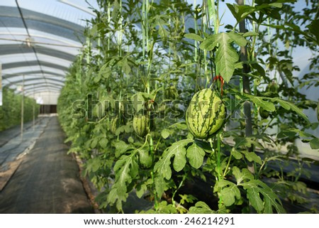 watermelon in greenhouse - stock photo