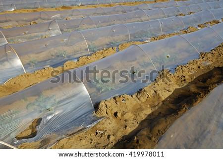Watermelon planting plastic mulching - stock photo