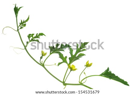 Melon Vine Stock Images, Royalty-Free Images & Vectors ...