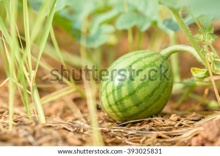 watermelons  field  - stock photo