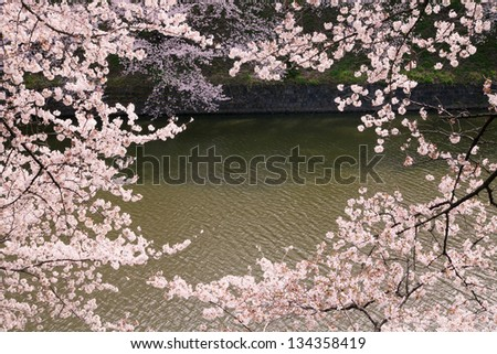 waterside cherry blossoms in the springtime 35