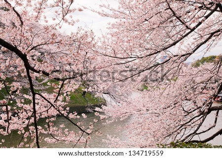 waterside cherry blossoms in the springtime 51 - stock photo
