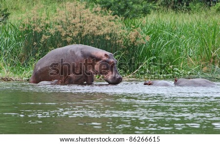 waterside scenery with some Hippos in Uganda (Africa) - stock photo
