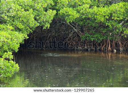 Waterway through a mangrove forest in Florida - stock photo