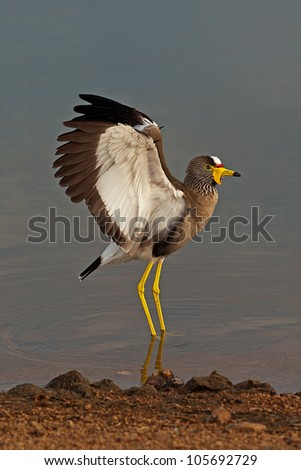 Wattled Lapwing spreading it's wings - stock photo