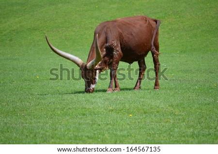 Watusi Ankole Cattle - stock photo