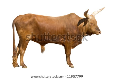 Watusi bull (Bos primigenius taurus) isolated on white background. Also known as  Egyptian or Hamitic Longhorn.