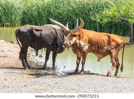 Watusi Bull photographed in Safari World in Bangkok - stock photo