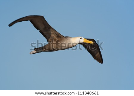 Waved albatross flying over a Galapagos island, blue sky in the background - stock photo