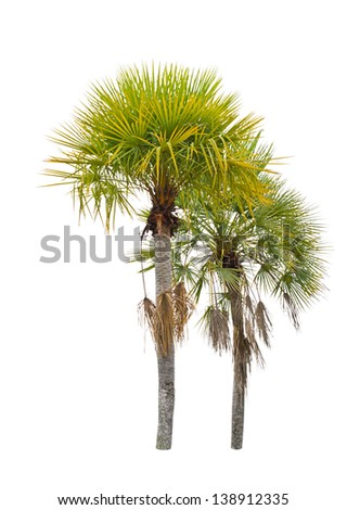 Wax palm(Copernicia Alba)Palm tree isolated on white background