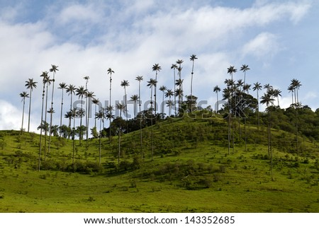 Wax Palm Tree, Colombia - stock photo