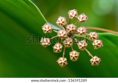 wax plant (hoya micrantha) - stock photo