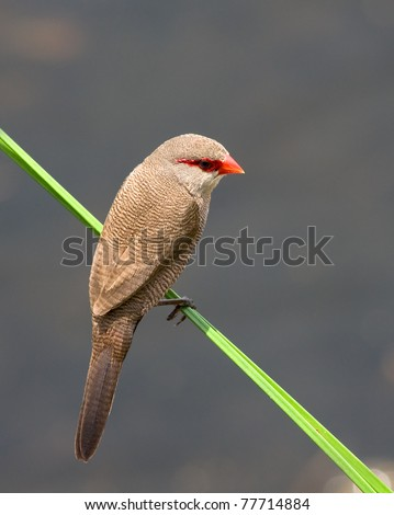 Waxbill common