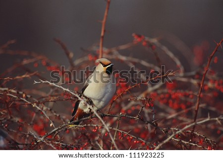 Waxwing perching on bush