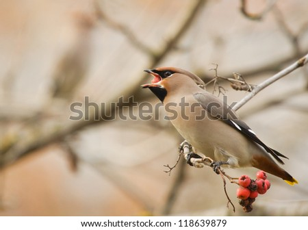 Waxwing with berry of mountain ash on branch - stock photo