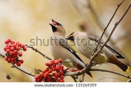 Waxwings with berry of mountain ash on branch - stock photo