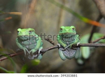 Waxy monkey leaf frog (Phyllomedusa sauvagii) in natural rainforest environment on a branch. Colorful bright green tropical frog. - stock photo