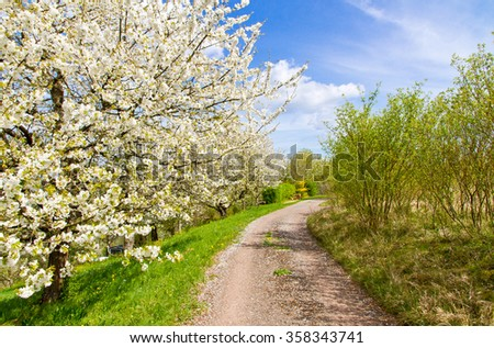 Way in spring with blooming cherry trees - stock photo