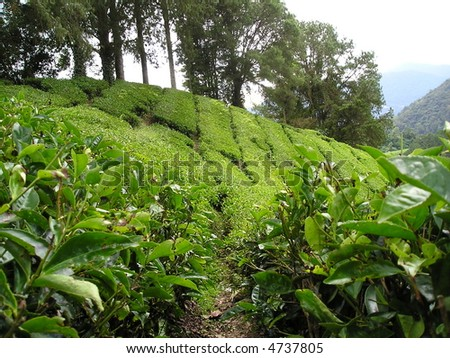 way into tea plantation in Asia - stock photo