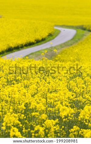 Way through the yellow oilseed rape field - stock photo