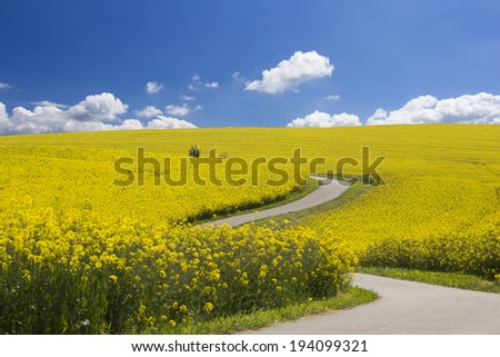 Way through the yellow oilseed rape field under the blue sky with sun - stock photo