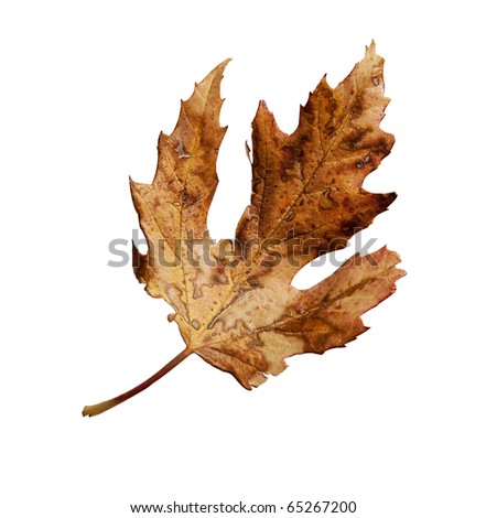 Weathered fall leaf with clipping path - stock photo