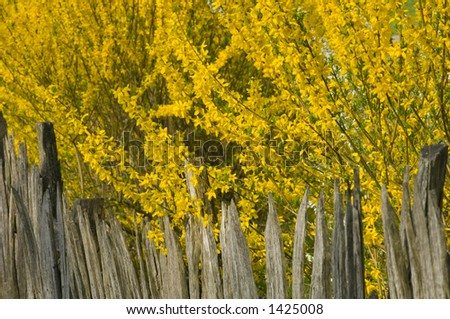 weathered picket wood fence and forsythia in spring bloom on pioneer farm - stock photo