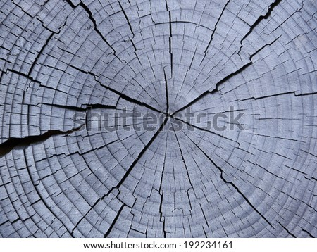 weathered slice from a fir tree - stock photo