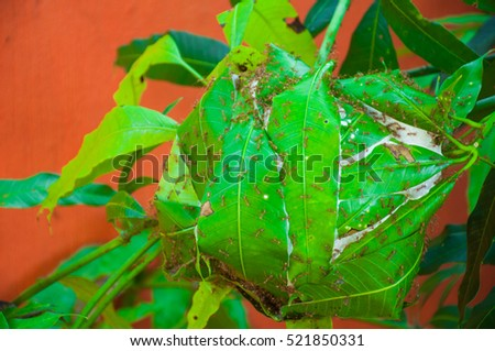 Weaver ant on coffee plant