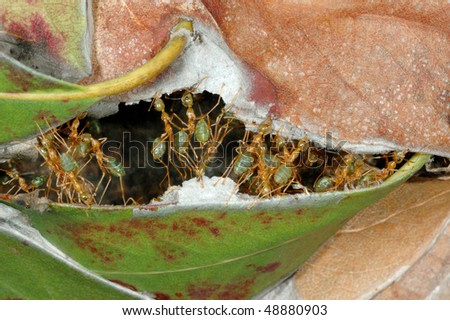 Weaver Ants repairing their nest in the Australian outback - stock photo